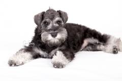 Shnauzer cachorro 03