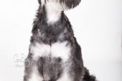 Shnauzer cachorro 04