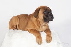 cachorro blue mastif