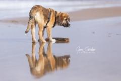 Cachorro-de-Mastín