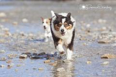 Perros Pastor Australiano corriendo en la playa