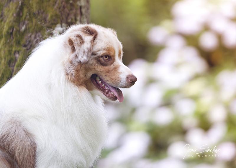Perro Pastor Australiano red merle posando en un jardín con flores de fondo