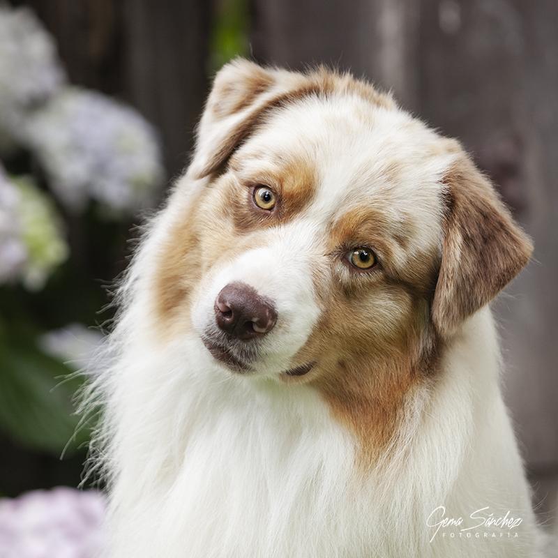 Retrato de cara de perro Pastor Australiano red merle primer plano en exterior