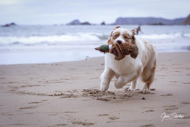 Perro Pastor Australiano red merle corriendo por la playa
